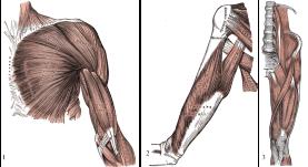 5a258-biceps252c2btriceps252c2bcuadriceps